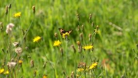 Schmetterlinge und Bienen sammeln Nektar im Sommer stock footage