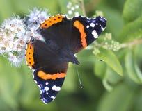 Schmetterlings-Admiral (Lat. Vanessa-atalanta) Stockfoto