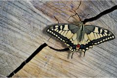 Schmetterlings-Alte Welt Swallowtail Stockbild