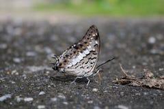 Schmetterlings-Blätter stockbilder