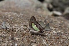 Schmetterlings-Blätter lizenzfreie stockbilder