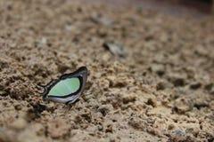 Schmetterlings-Blätter lizenzfreies stockbild
