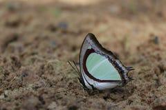 Schmetterlings-Blätter lizenzfreie stockfotos
