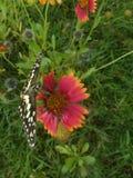 SCHMETTERLINGS-Blütenstaub Lizenzfreie Stockbilder