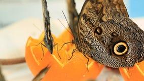 Schmetterlings-Essen stock video