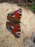 Schmetterlings-Europäer-Pfau Stockfotos