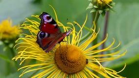 Schmetterlings-europäischer Pfau (Aglais io) auf einem Blume echten Alant stock video footage