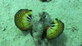 Schmetterlings-Fische auf vibrierender Coral Reef stock video