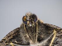 Schmetterlings-Makro Stockbild