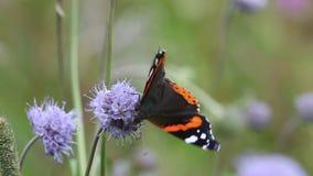 Schmetterlings-roter Admiral (Vanessa-atalanta) stock video
