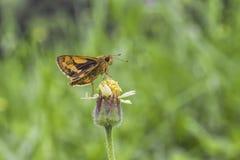 Schmetterlings-Saugen lizenzfreies stockfoto