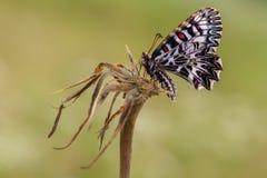Schmetterlings-Sommermorgen Zerynthia Polyxena in der Wiese lizenzfreie stockfotografie