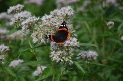 Schmetterlings-Vanessa-atalanta lizenzfreies stockfoto