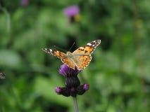 Schmetterlings-Vanessa-cardui Lizenzfreies Stockbild