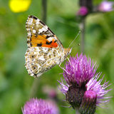 Schmetterlings-Vanessa-cardui Lizenzfreie Stockbilder