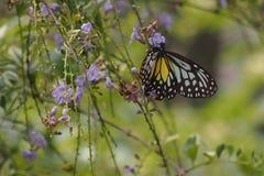 Schmetterlings-Wand-Papier Stockfotografie