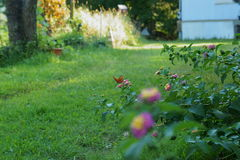 Schmetterlingsblume Lizenzfreie Stockfotos