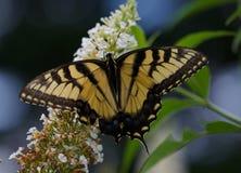 Schmetterlingsblume Lizenzfreies Stockfoto