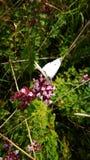 Schmetterlingsblume Stockfotografie