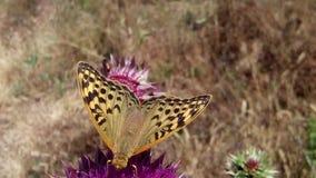 Schmetterlingsblume Stockbild