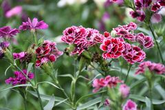 Schmetterlingsblume Stockbilder