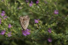 Schmetterlingsblumen Stockfotos