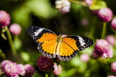 Schmetterlingsblumen Stockfotografie