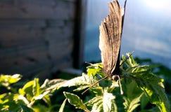 Schmetterlingsbraun aalt sich auf Grün Stockfotos