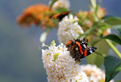 Schmetterlingsbusch im Weiß mit Schmetterling des roten Admirals Stockfoto