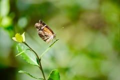 Schmetterlingseinstellung auf kleinem Baum Lizenzfreies Stockfoto