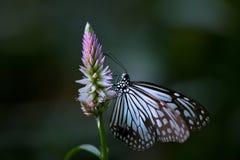 Schmetterlingsengel Stockbild