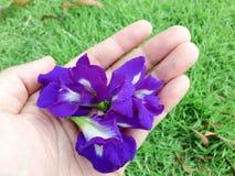 Schmetterlingserbse - Clitoria ternate L Stockfotos