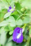 Schmetterlingserbsenblume Stockbild
