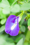 Schmetterlingserbsenblume Lizenzfreie Stockfotos