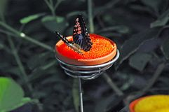 Schmetterlingsfütterung Stockfotos