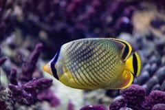 Schmetterlingsfisch ist ein heller Seefisch, der hauptsächlich auf Korallenriffen lebt stockfotografie