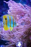 Schmetterlingsfische lizenzfreie stockfotografie