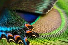 Schmetterlingsflügel und -feder Lizenzfreies Stockfoto