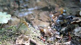 Schmetterlingsfrühlingsszene stock footage