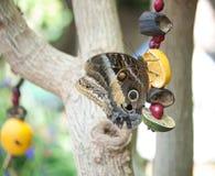 Schmetterlingsfrucht Stockfoto