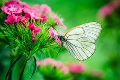 Schmetterlingsgartennelkenmakro Lizenzfreie Stockfotografie