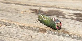 Schmetterlingsgleiskettenfahrzeuge u. x22; Dicranura-vinula& x22; Lizenzfreie Stockbilder