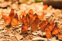 Schmetterlingsgruppe Stockfotos