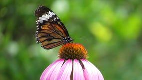 Schmetterlingshalt auf Blume Lizenzfreies Stockbild
