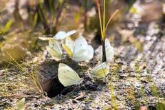 Schmetterlingskohlschmetterling Stockbild
