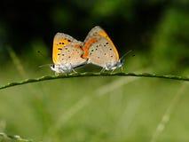 Schmetterlingskoppelung Stockfoto