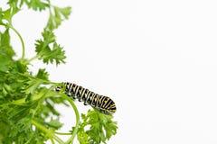 Schmetterlingslarve, die auf Blatt stillsteht Lizenzfreies Stockfoto