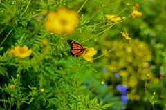 Schmetterlingsleben, Barbados Stockbilder