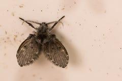 Schmetterlingsmücke Stockfotografie