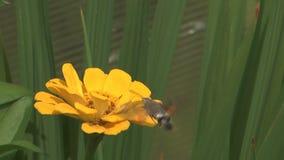Schmetterlingsmücken. stock video